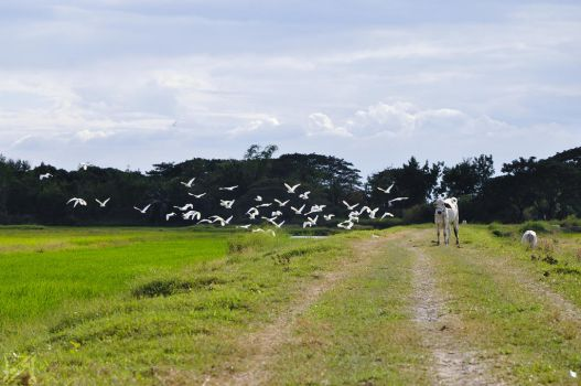 Cows and Birds by EdVel