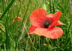 Poppy by FrancescaDelfino