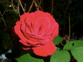 Red Rose by Krissyr