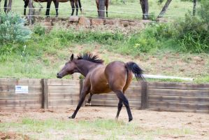 Km TB canter head twisted to side by Chunga-Stock
