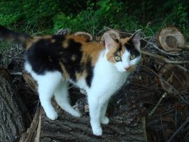 Calico Cat Stock 1785 by sUpErWoLf--StOcK