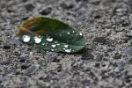 Water on a Leaf by Courosant1