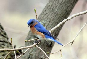 Male Bluebird. by sweatangel