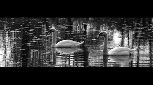 Swans 4 by FrantisekSpurny