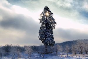Seqvoia Gigantea in Winter by Callu