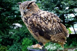 American Eagle Owl by CitizenJustin