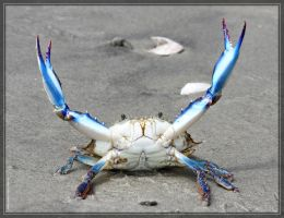 Blue Crab 40D0044422 by Cristian-M