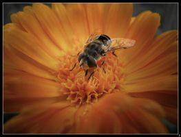 fly on flower by LeeUmass