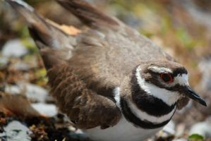 Killdeer by Voldrune