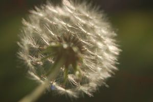 Up Close Dandelion by BeccaPanda