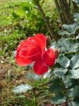 Red Rose by leandroconradt95