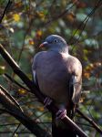 Woodpigeon II by Vhazza