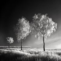 Three Birches b+w infrared by MichiLauke