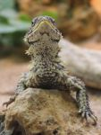 Giant Girdled Lizard I by Parides