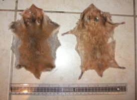 FOR SALE: Syrian Hamster Skins by EternalEmporium