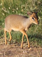 Dik Dik 02 by syoul-stock