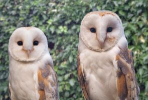 Barn owls by jdesigna