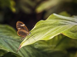 Glasswing Butterfly by JessicaDobbs
