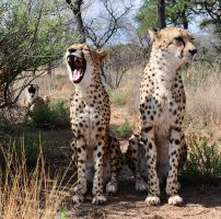 Singing cheetahs by Kridah