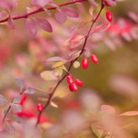 Berries Of The Autumn by Pamba