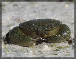 Crab 40D0000735 by Cristian-M