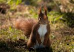 Red  Squirrel - Scribble by TheHoodedMan