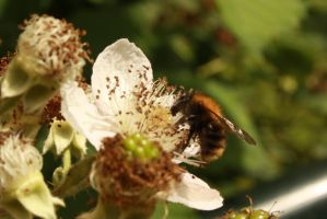 bee on blackberry by marob0501