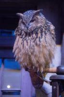 Eagle Owl Stock (Malfoy's from Harry Potter) by TMProjection