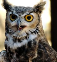 Great Horned Owl by amorphousdebris