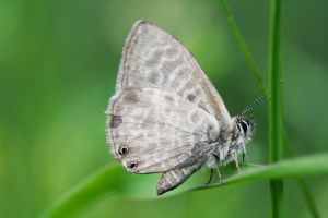 leptotes pirithous by AnjaSchlegelmilch