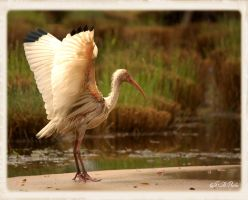 White Ibis by DethEternl