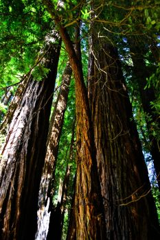 Muir Woods - 2 by xdgrace