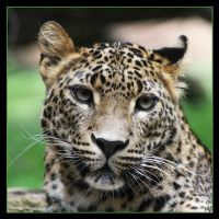 Leopard 13 by Globaludodesign