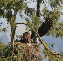 Bald Eagles nest with both parents by finhead4ever