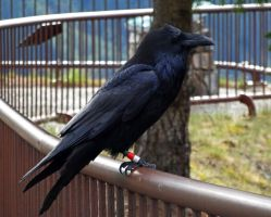 Common Raven II by Track-Maidens