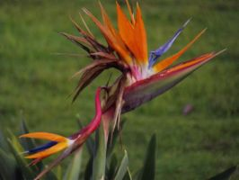 Bird Of Paradise by Jessawary