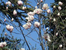 Magnolia tree in blossom by WolfDemonG