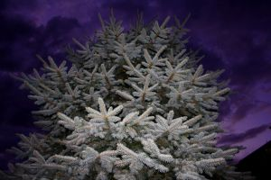 Conifer illumination by SpencerCameron