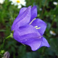 Campanula - rainy day blue by miss-gardener
