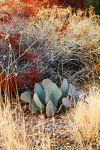 Beavertail Cactus by Monkeystyle3000