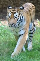 Tiger Stock 06 by Malleni-Stock