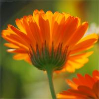 Calendula officinalis by FeenoGraphie