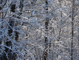 Snow-Covered Tree Branches 2 by FantasyStock