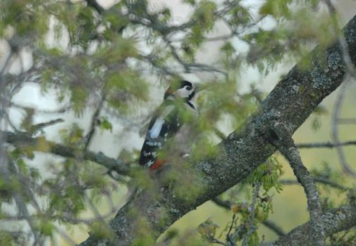 Great spotted Woodpecker by Meluzina81