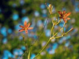 Tiger Lillies by KBeezie