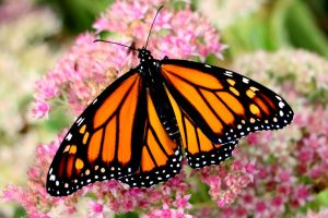 Monarch Butterfly #2 by Aroha-Photography