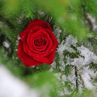 the winter rose by wolf-minori