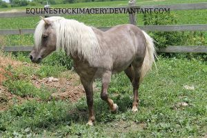 Shetland-Welsh X 30 by EquineStockImagery