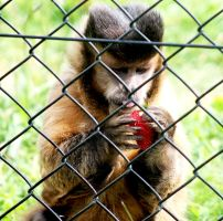 Capuchin with a frozen strawberry by ClickedPencils