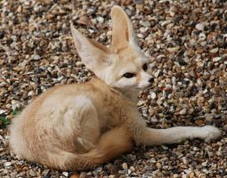 Fabulous Fennec Fox. by Rabid-Coot